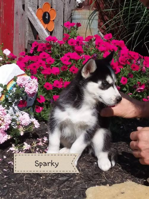 Sparky Male Akc Siberian Husky Full Price 650 Deposit That