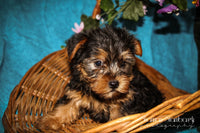 Speedy: Male Yorkie (Full Price $899.00) Deposit