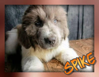 Spike: Male AKC Newfoundland (Full Price $1499.00) Deposit