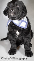 Georgee Male English Springer Spaniel Lab Mix $850