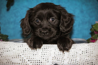 Stanley: Male Schweenie (Full Price $525.00) Deposit