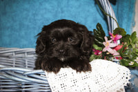 Steve: Male Schweenie (Full Price $525.00) Deposit