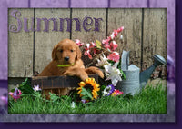 Summer Female AKC Golden Retriever $499