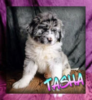 Tasha: Female Newfoundland Mix (Full Price $1499) Deposit