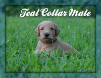 Teal Collar: Male F1B Goldendoodle (Full Price $1800.00) Deposit