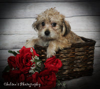 Cinnamon Female Teddy Bear Yorkiepoo Mix $1200