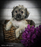 Rosie Female Teddy Bear Yorkiepoo Mix $1200