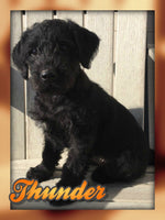 Thunder: Male Mini Labradoodle (Full Price $595) Deposit