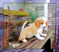 Tiger: Male Cavalier Mix (Full Price $500.00) Deposit