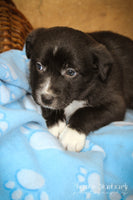 Timmy: Male Aussie Mini (Full Price $275.00) Deposit