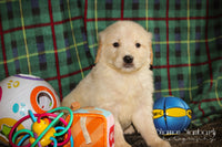 Tobie: Male AKC Golden Retriever (Full Price $650.00) Deposit