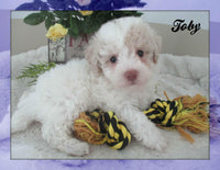 Toby: Male Poochon (Full Price $1295.00) Deposit - Pups for sale in Ohio
