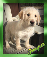 Trouper: Male Mini Labradoodle (Full Price $595) Deposit
