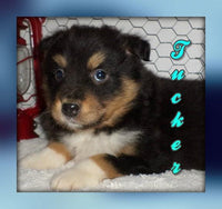 Tucker: Male Australian Shepherd (Full Price $550.00) Deposit