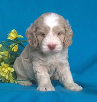 Jumper: Male Cockapoo Puppy ( Full Price $1395 ) Deposit