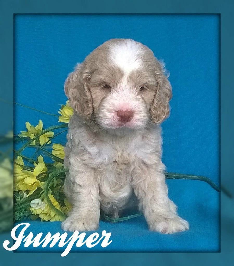 Cockapoo breeder in Pittsburgh