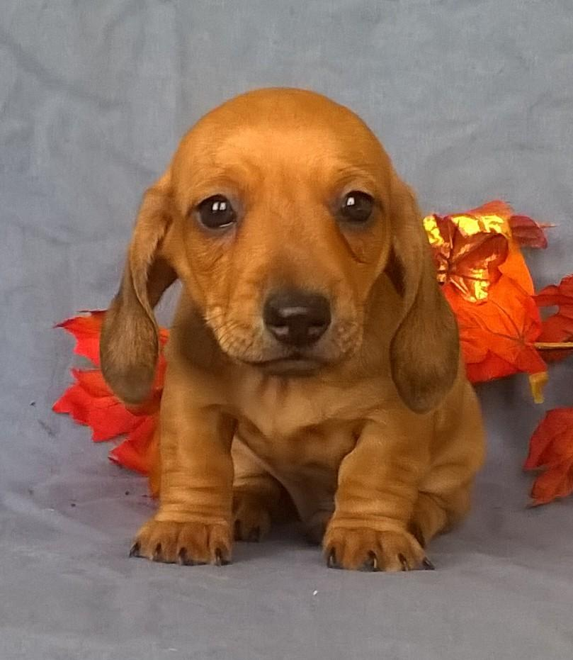 Munchkin Male ACA Mini Dachshund (Full Price $1095) Deposit