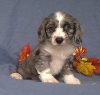 Patches Male Cockapoo Puppy ( Full Price $1595 ) Deposit