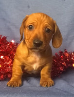 Gus Male ACA Mini Dachshund (Full Price $1095) Deposit