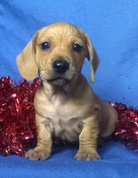 Oscar Male ACA Mini Dachshund (Full Price $1095) Deposit