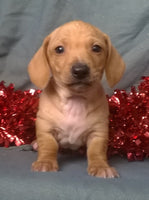 Winston Male ACA Mini Dachshund (Full Price $1095) Deposit