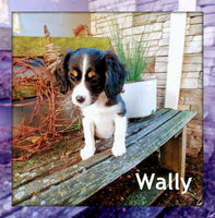 Wally: Male Cavalier Mix (Full Price $500.00) Deposit