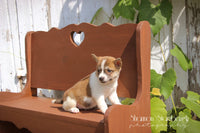 shiba inu puppies for sale in ohio