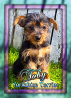 Toby Male TEACUP  Yorkie $799