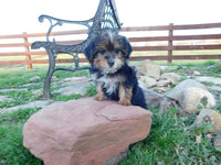 Riley Male Yorkiepoo $1100