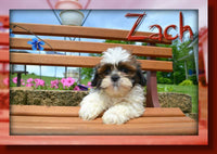 Zach Male Shihtzu $550
