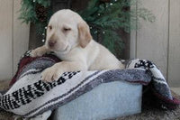 Zach Male Labrador Retriever $450