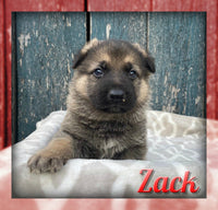 Zack Male AKC German Shepherd $1495