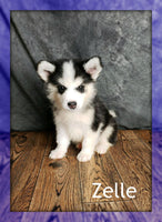 Zelle:  Male Pomsky (Full Price $1200) Deposit