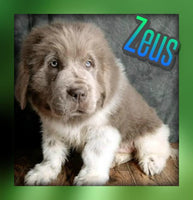 Zeus: Male AKC Newfoundland (Full Price $1499.00) Deposit