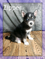Zipper:  Male Pomsky (Full Price $850) Deposit
