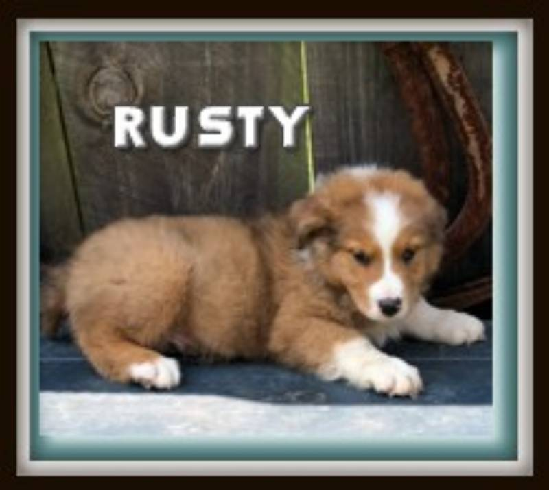 ICA Australian Shepherd for sale near me