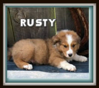 Rusty ICA Male Australian Shepherd $300