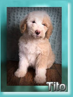 Tito Male Double Doodle $750
