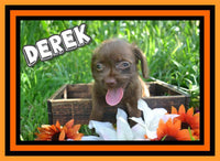 Derek Male Boston Terrier Mini Poodle Mix $375