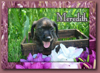 Meredith Female Boston Terrier Mini Poodle Mix $375
