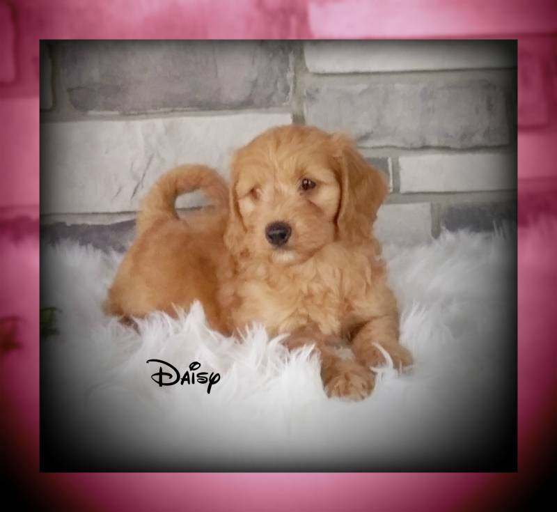 female mini goldendoodle for sale near me cleveland akron canton
