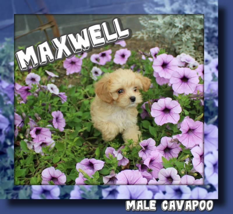 Male Cavapoo puppy for sale near me