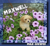 Cavapoo Puppies for sale in Ohio | That Doggy in the Window