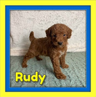 Rudy Male Mini Poodle $750