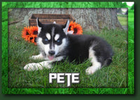Pete Male ACA Husky $499