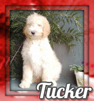 Tucker Male Sheepadoodle $800