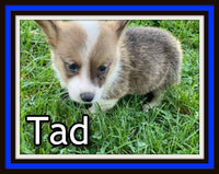 Tad Male ACA Pembroke Welsh Corgi $1250