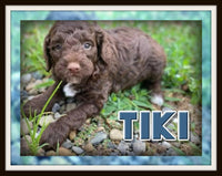 Tiki Male Mini Goldendoodle $3500