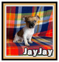 JayJay Male Jack Russell Mix $800