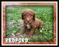 Redford Male Mini Goldendoodle $3500